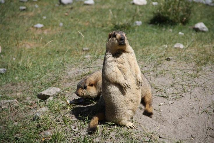 Playful Mormots