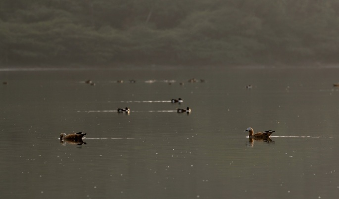 A pair of Brahminy ducks in the Lonar lake by Adityavikram More