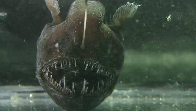 25_yt_anglerfish
